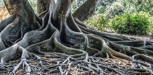 Massive roots coiling out from group of tree trunks
